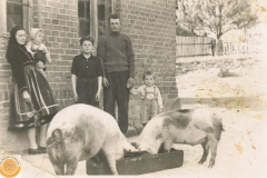 1950r. Złota - świnie
